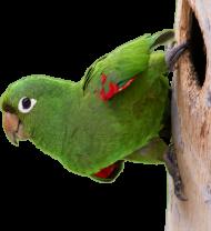 Kubek Papuga