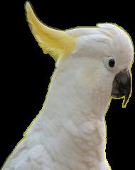 Kubek Kakadu