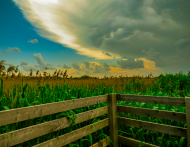 Amerykańskie pole kukurydzy