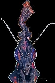 Bluza z kapturem dla dzieci Phyllocrania paradoxa