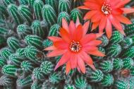 Kaktus kwiat - koszulka damska czarna