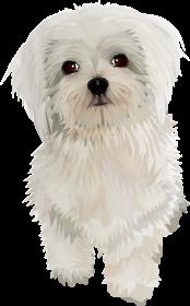 Maltańczyk Twój pies na Koszulce