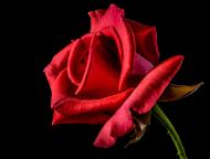 Koszulka damska Red Rose