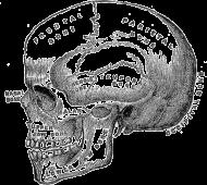 Czaszka anatomiczna (z boku)